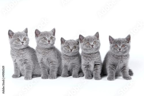 British Shorthair kittens sitting on a white background in a stu
