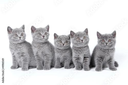 British Shorthair kittens sitting on a white background in a stu #4986569