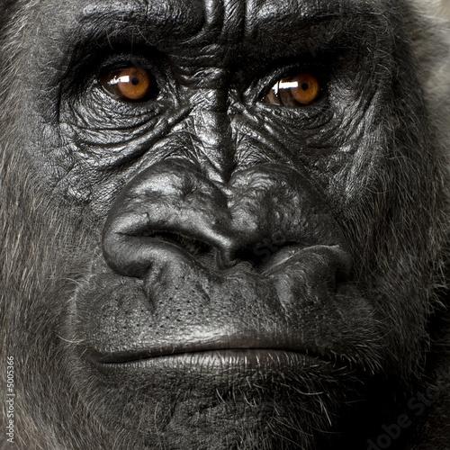 Photo  Young Silverback Gorilla