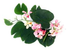 Branche De Bauhinia, L'arbre Orchidée