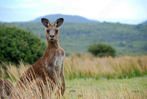 Photo sur Toile Kangaroo Wild kangaroo in outback
