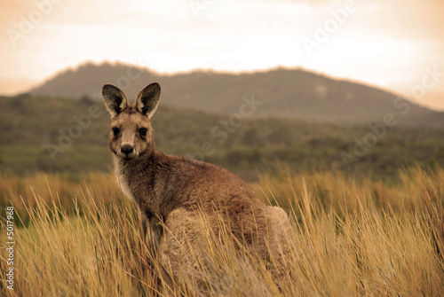 Poster Kangaroo Wild kangaroo in outback