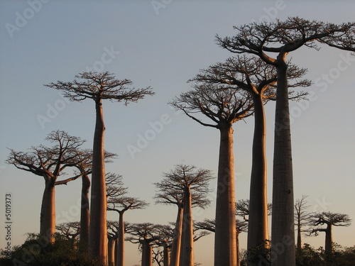 baobabs Canvas Print