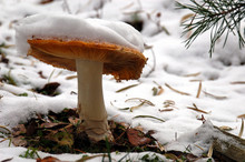 Winter Mushroom