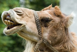 Fototapeta Sawanna -  camel's smile
