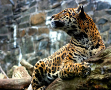 A Jaguar Sits Alert On A Fallen Tree Trunk
