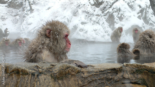 Singe Japanese Macaque in hot spring