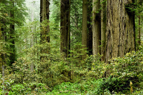 Fotografie, Obraz  Relict sequoia trees in Redwood National park
