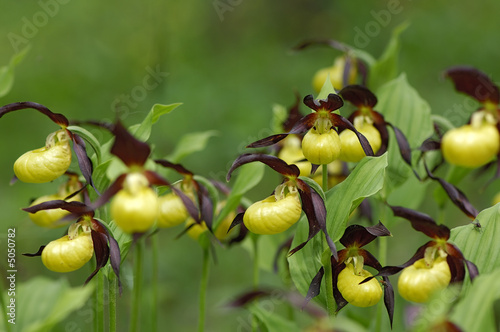 Recess Fitting Orchid Cypripedium calceolus