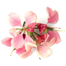 Fleurs Du Bauhinia