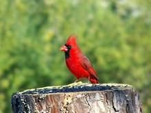 Stumped Cardinal