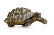 Herman's Tortoise - Testudo He...