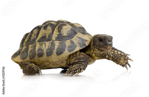Poster Tortue Herman's Tortoise - Testudo hermanni