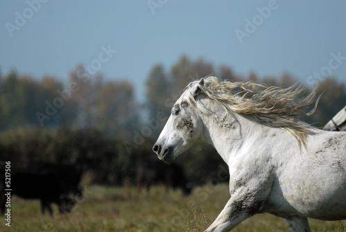 Fototapety, obrazy: chevaux de camargue