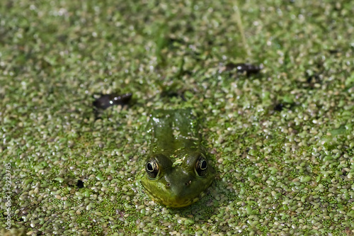 Tuinposter Kikker Green Frog in swamp pond closeup1
