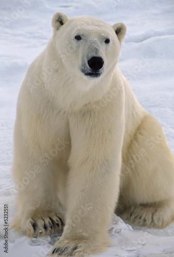 Staande foto Ijsbeer Polar bear in the Canadian Arctic