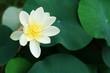 canvas print picture - lotus