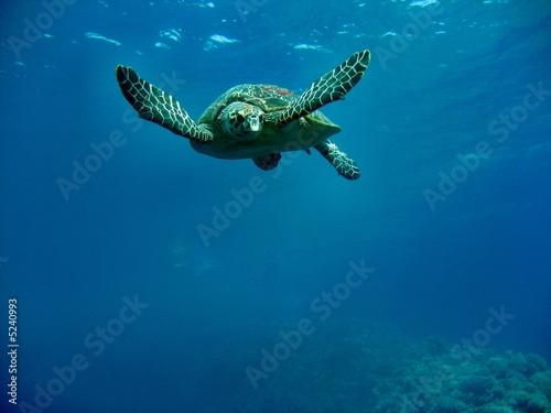 Foto op Aluminium Schildpad Carretta Schildkröte