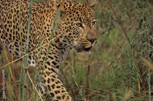 Fototapeta premium Afryka-Leopard