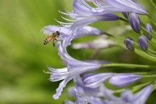 Agapanthus And Bee 3