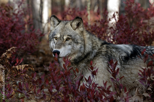 Gray wolf portrait #5256394