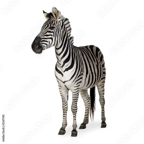 In de dag Zebra Zebra