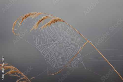 Fotomural Autumnal gossamer on the reed