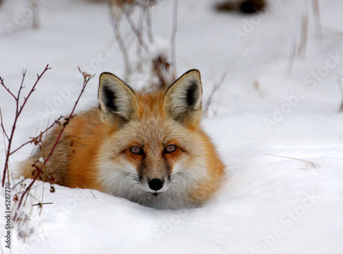 Vászonkép Winter Fox