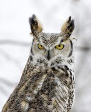 Owl-Long Eared In Snowfall