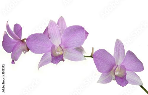 Papiers peints Orchidée fleur orchidée