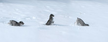 Tryptic Of Dog In Snow