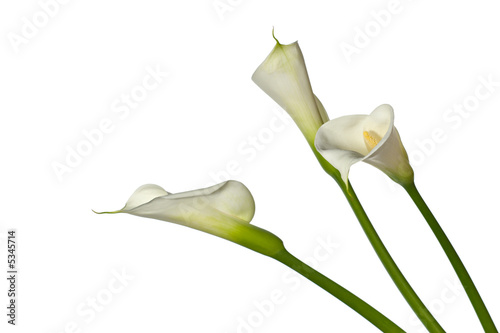 Fototapeta three calla lilies close-up, isolated on white background