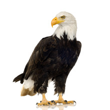 Bald Eagle (22 Years) - Haliae...