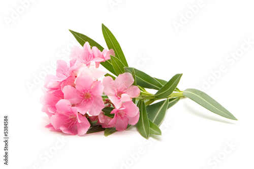 Pink oleander flower on isolated white background buy this stock pink oleander flower on isolated white background mightylinksfo