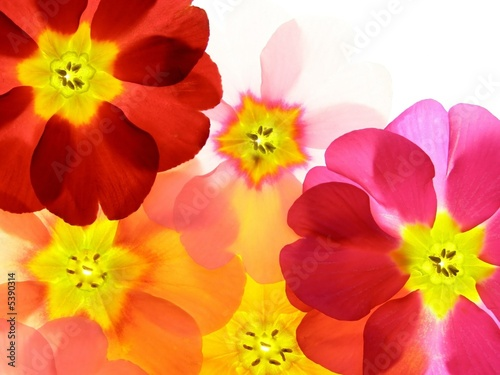 Fotobehang Macro Close-up of primula flower against white background