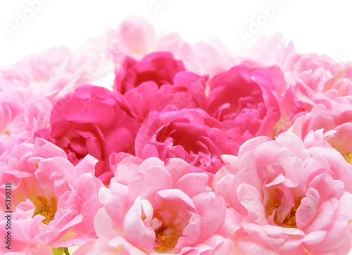 Fotobehang Macro Close-up of pink rose flowers against white background