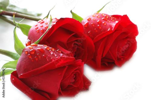 Plakat Trzy róży z kropli wody na białym tle