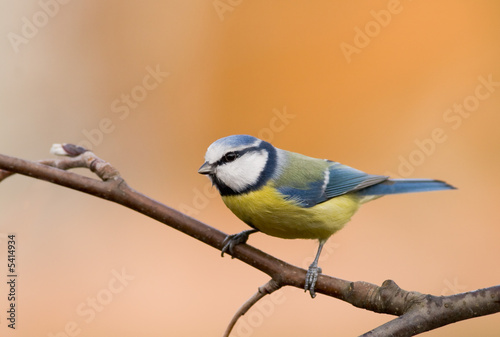 Slika na platnu blue tit (aka parus caeruleus) on orange background