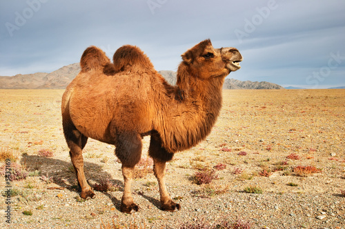 Camel in mongolian desert.