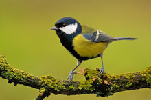 Great Tit (aka Parus Major) On Green Background