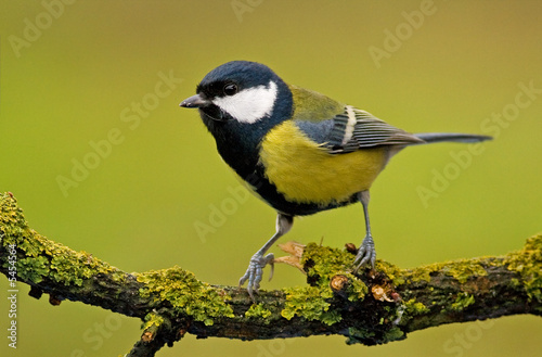 Leinwand Poster great tit (aka parus major) on green background