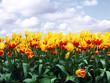Leinwandbild Motiv tulips in a field against blue sky