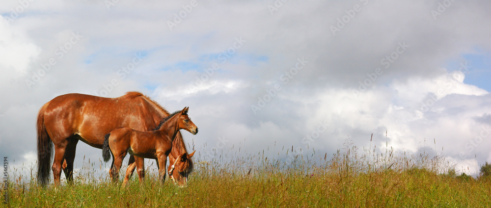 Fototapety, obrazy: horses in a field