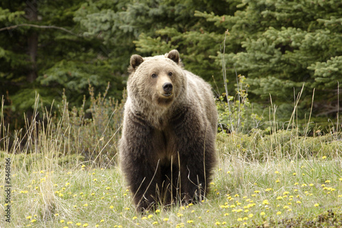 Fotomural  Grizzly bear.