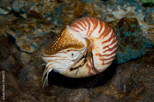 Valokuva  Chambered Nautilus (Nautilus pompilius) underwater