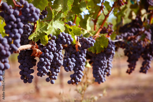 Fotografie, Obraz  Merlot Grapes on Vine in Vineyard