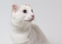 Portrait Of American Curl Cat Whith Blue Eyes