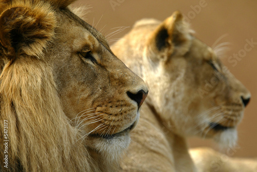 Fototapety, obrazy: African Lions