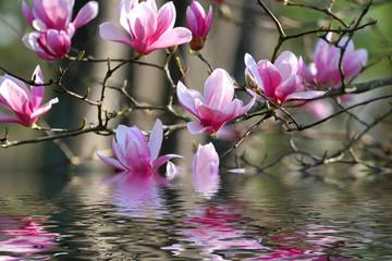 Panel SzklanyJapanese Magnolia