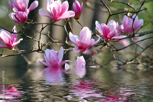 Photo Stands Magnolia Japanese Magnolia
